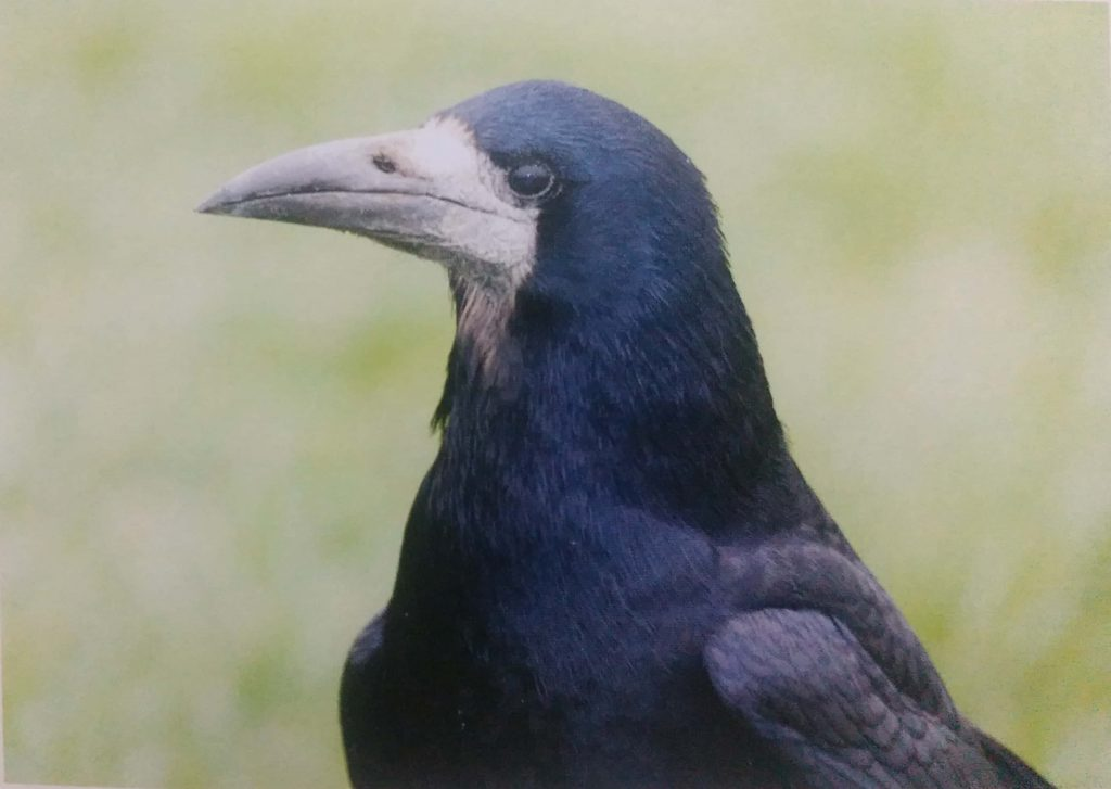 Rook-Bird-Information-Facts