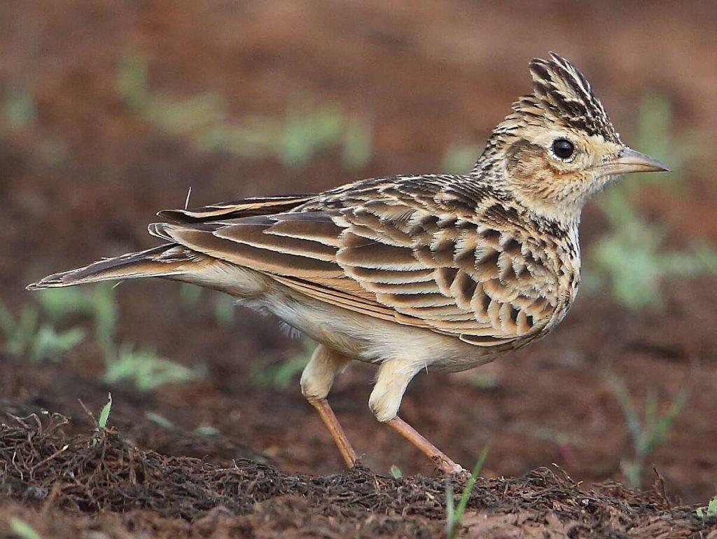 Skylark-bird-introduction-facts