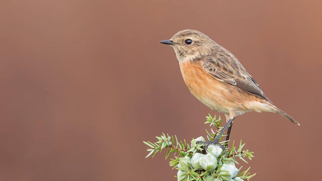 Stonechat-bird-nesting-breeding-habitat-history