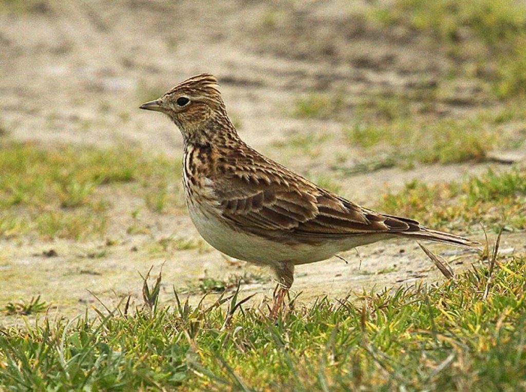 skylark-bird-identification-appearance-birdinfo
