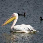Rosy-Pelican-Pelecanus-onocrotalus-bird-facts