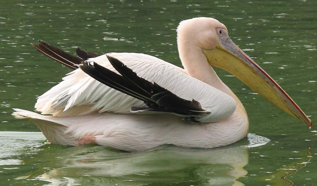 White-Pelican-Bird-Information-and-Facts