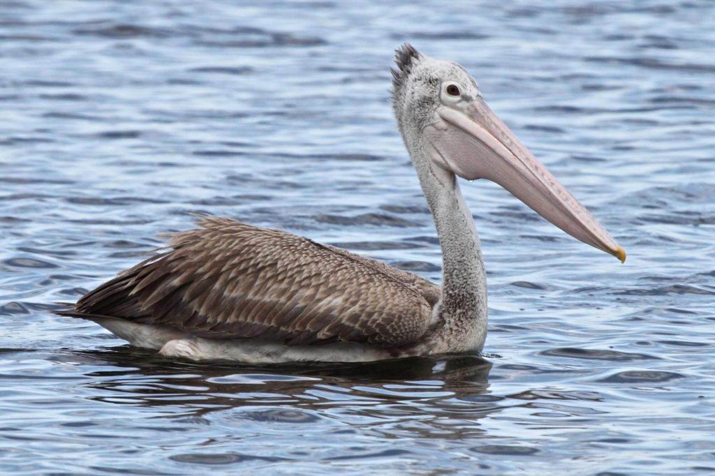 spot-billed-pelican-bird-information-facts (1)